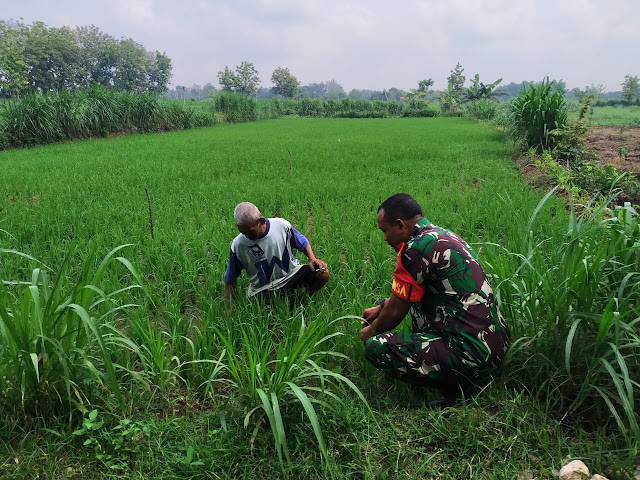 Tingkatkan Hasil Panen, Babinsa Desa Peleman Cek Tanaman Padi
