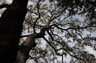 looking up through the branches of a large live oak tree