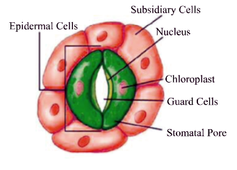 Class 11 - Biology - Plant Tissues - Epidermal Tissue System in Plants - Important Points (#cbseNotes)