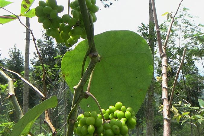 Dlium Tapevine (Stephania japonica)