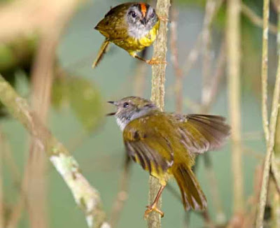 Russet-crowned Warbler - adult and baby