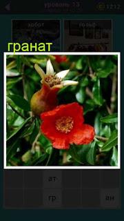 цветок под названием гранат распустил свои бутоны 667 слов