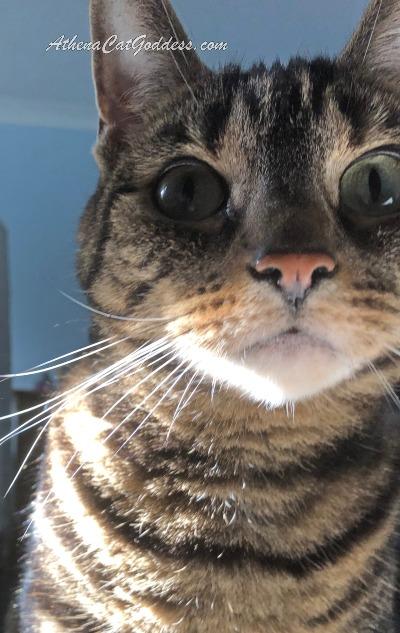 tabby cat selfie