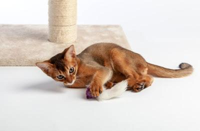 Penyakit Kucing Abyssinians