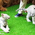 First White Tiger Cubs In Sunway Lagoon Malaysia And Walk & Hunt In The Wild