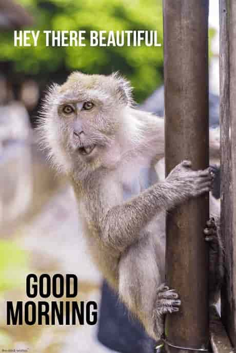 good morning beautiful monkey meme