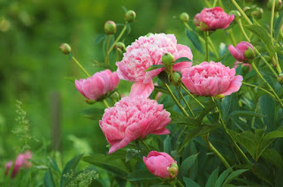 Peonies Meaning