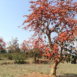 Palas Flower Tree Bankura