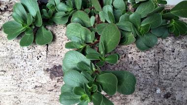 Plantas muy útiles. Portulaca oleracea (verdolaga)