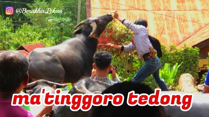 Ma'tinggoro Tedong atau Pemotongan Hewan Kerbau Dalam Ritual Rambu Solo
