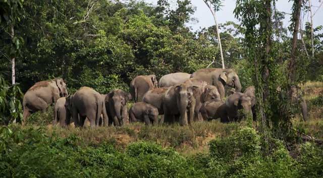 Dijadikan Senjata untuk Mengalahkan Gajah