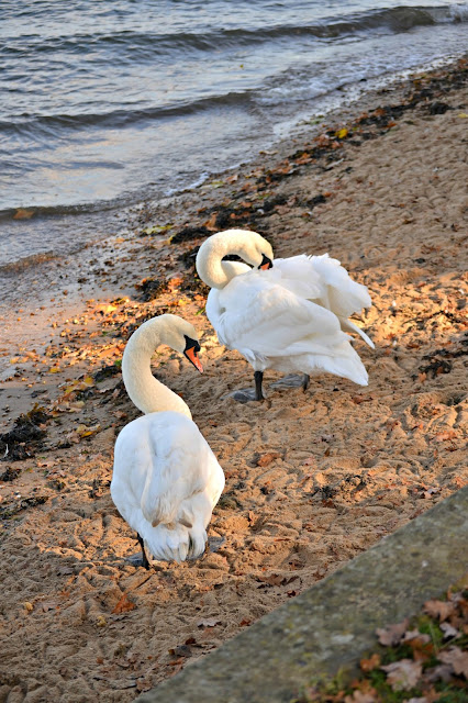 Swans in Autumn on the river bank