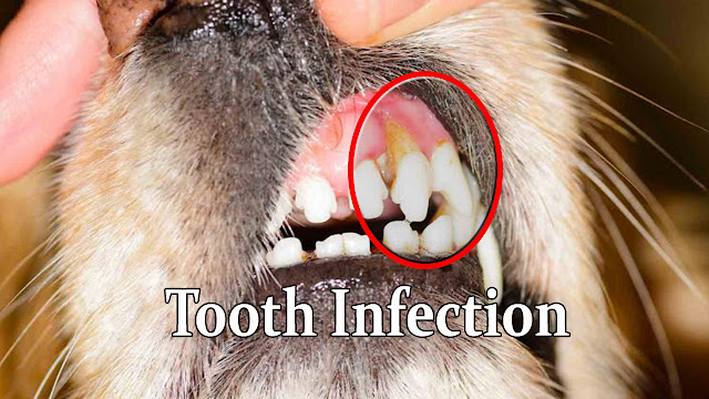 best-antibiotic-treatment-for-dogs-tooth-diseases