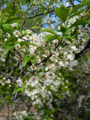 American Plum (Prunus americana) spring flowers in a Riverdale ecological garden by garden muses-not another Toronto gardening blog