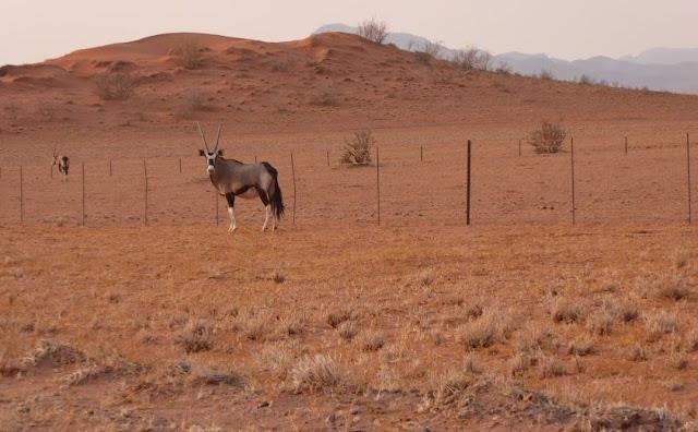 orici nella Namib Rand Nature Reserve