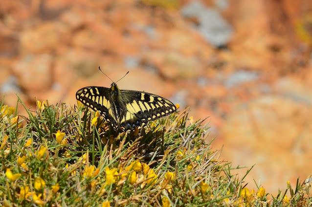Papilio hospiton