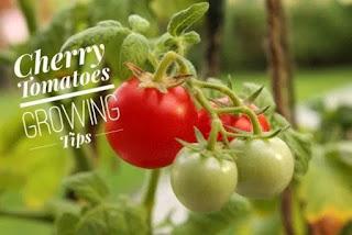 menanam buah tomat