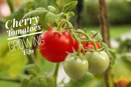 budidaya dan cara menanam buah tomat