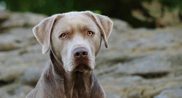 Labradores plateado largo