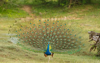 Indian peafowl dance display,  Yala National Park, Sri Lanka - Dec. 2010, by Thimindu-Goonatillake