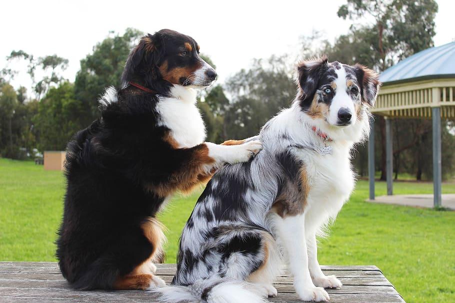 toilettage berger australien, bergers australiens miniatures, berger australien Toy, berger australien chiot, aussies, race de chien, animaux de compagnie, animaux domestiques, chien de compagnie, chien de chasse, chien de garde,