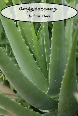சோற்றுக்கற்றாழை - Indian Aloes - part 3.