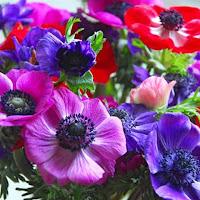Poppy Anemone - Anemone coronaria