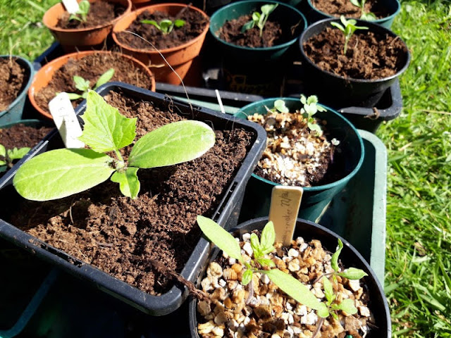 Image shows the seedlings in larger pots.  They have grown considerably