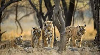 Ramgarh Vishdhari Sanctuary declared as 4th Tiger Reserve in Rajasthan