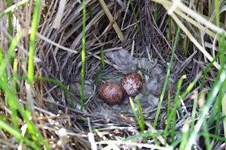 nido de chimango