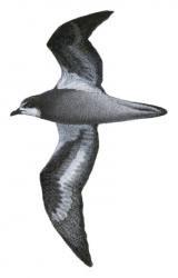 Pterodroma brevipes