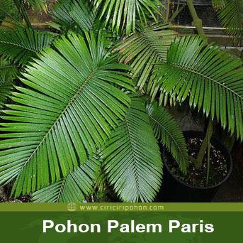 ciri ciri pohon palem paris