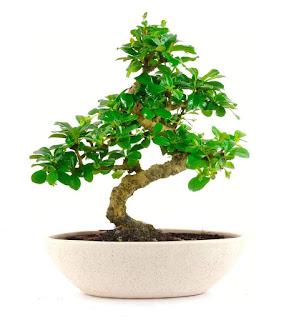 What is Bonsai tree? How to Plant a Bonsai Tree