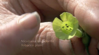 Nicotiana Langsdorffii Tobacco Plant