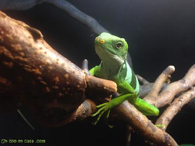 Iguana de Fiji sobre un tronco