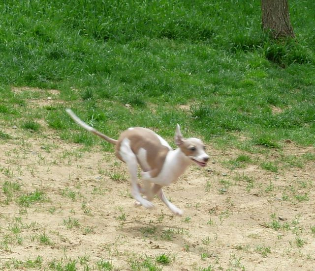 Italian Greyhound Dog HD wallpaper