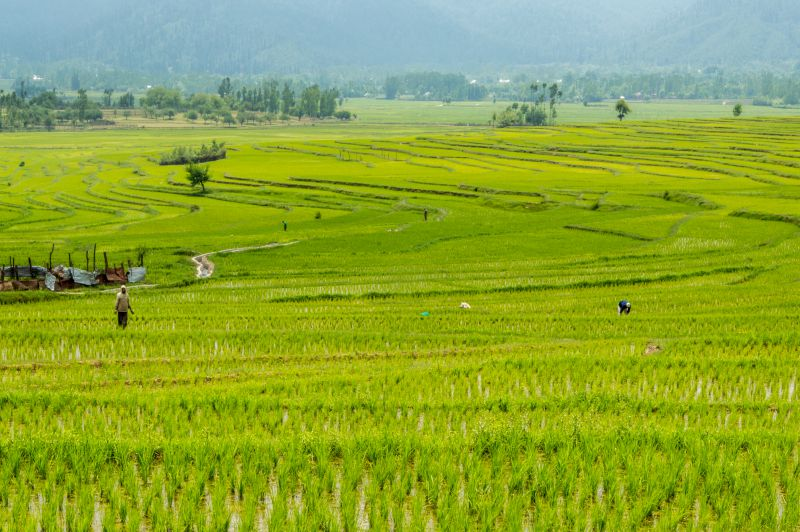 Lolab Valley - Vast Concentric Paddy fields