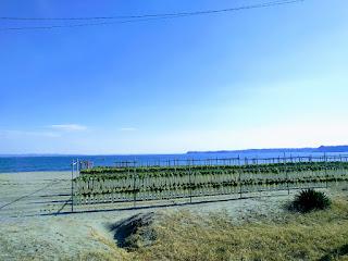 浜辺にズラリ何千本と干された三浦ダイコン