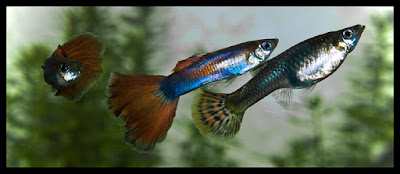 Some Darwinists still falsely claim that natural selection drives evolution. A study of guppies showed natural selection but no evolution.