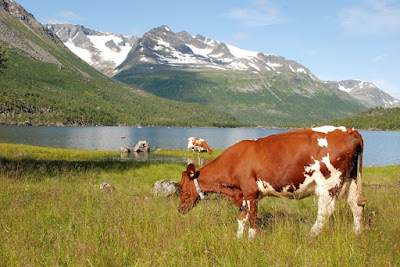 Norwegian Red Cattle Temperament, Facts, Milk Production, Uses