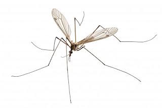 Adult Crane Fly