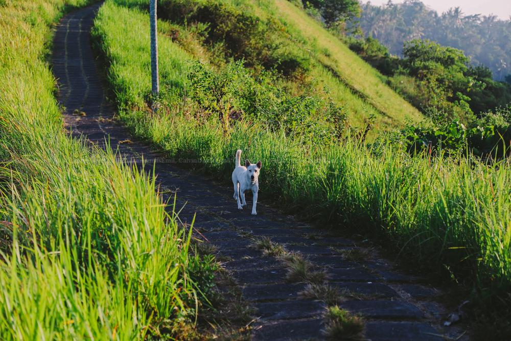 Campuhan Ridge Walk   Bukit Suci untuk Menyepi di Bali