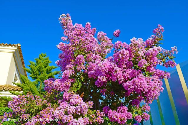 Árbol de Júpiter, jardinería, jardines pequeños, ideas para jardines