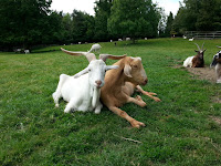 Guest posts on goats at Companion Animal Psychology, photo shows 2 goats