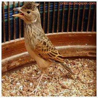 Burung Branjangan - Mengatasi Burung Branjangan yang Hanya Ngeriwik Saja