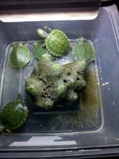 anakan-kura-kura-brazil.jpg