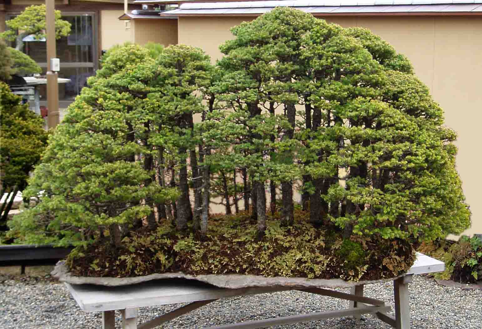 May 2010 Bonsai Blog Wiring Lesson Forest Planting By Saburo Kato