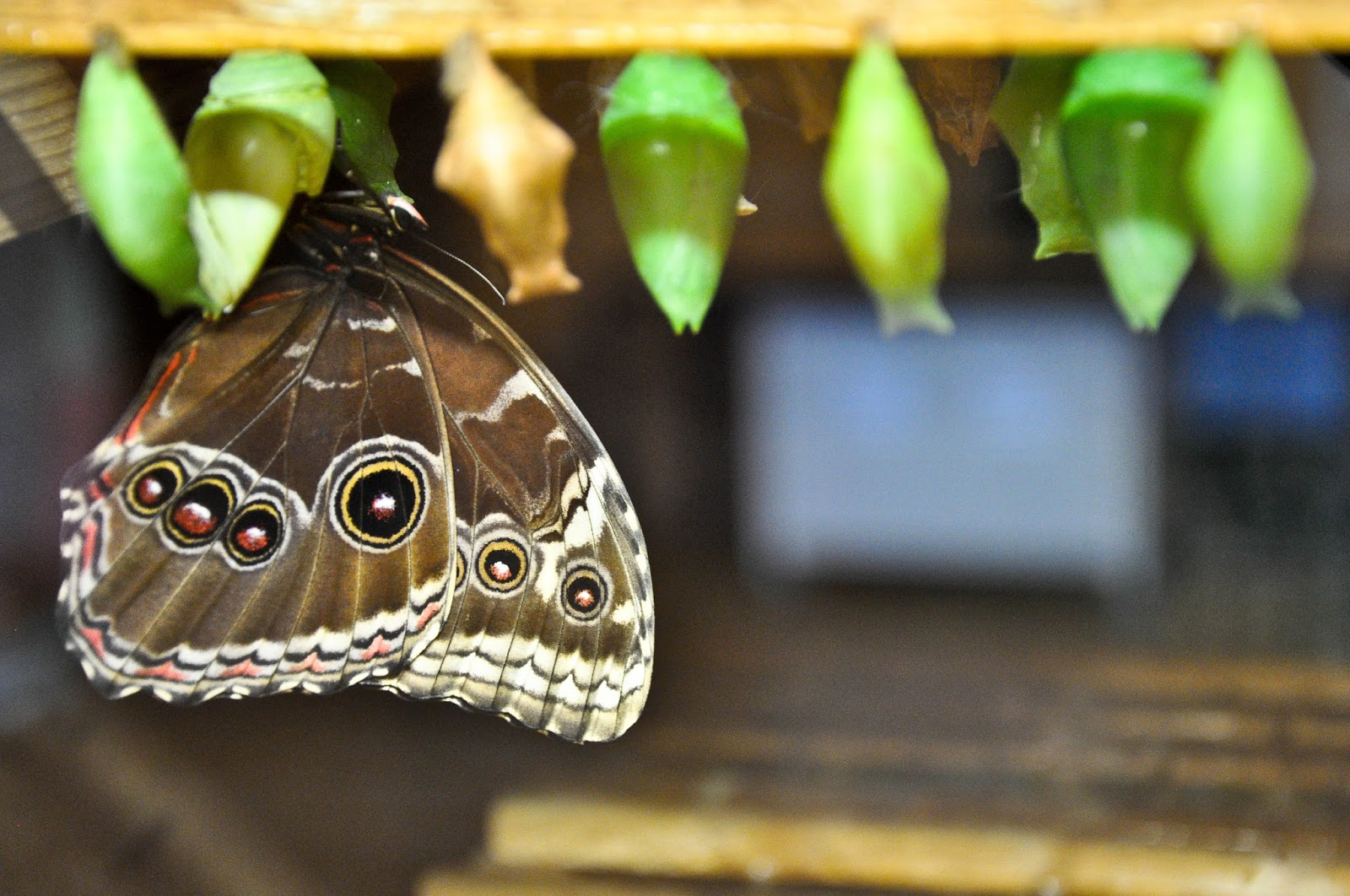 A butterfly is born, The Butterfly World Project, St. Albans, Herts, UK