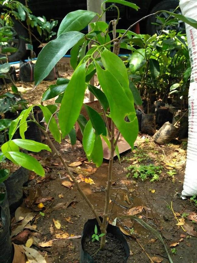 Bibit Tanaman Buah Leci com leci merah cangkok Surabaya
