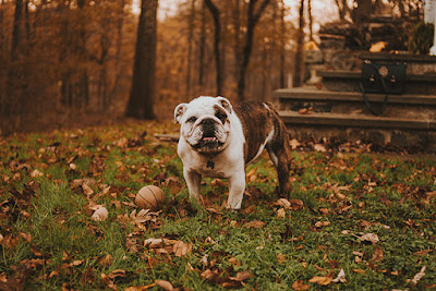 A brown and white bulldog is pictured in a yard with a ball